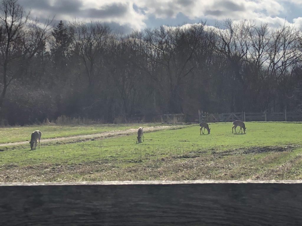 Four deer grazing in a field.